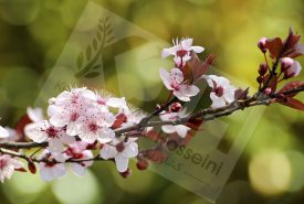 sand-cherry-blooming-branch-big kdh