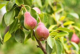 Pears-Growing-in-the-Garden-Ready-to-Harvest